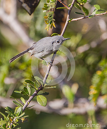 Blue-Gray Gnatcatcher on a branch