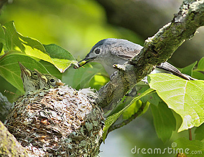 Blue-gray Gnatcatcher feeding nestlings