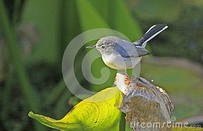 Blue-gray gnatcather (Polioptila caerulea)