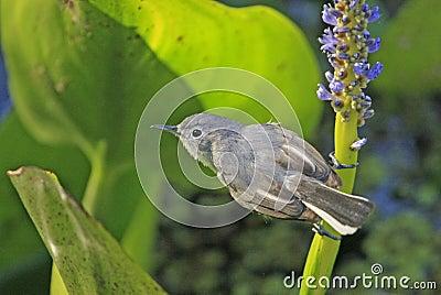 Blue-gray gnatcather (Polioptila caerulea)