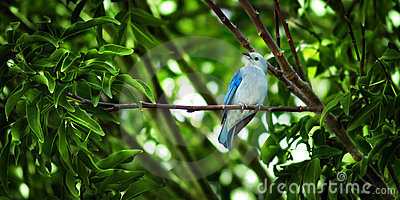 The blue-gray Tanager - Thaupis Episcopus