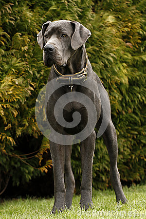 Free Blue Great Dane Royalty Free Stock Image - 30378386