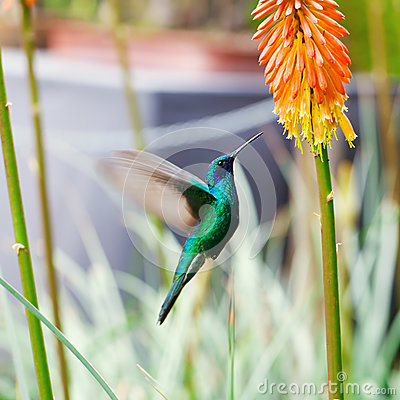 Free Blue Green Hummingbird Flying Over A Tropical Orange F Royalty Free Stock Image - 30515356