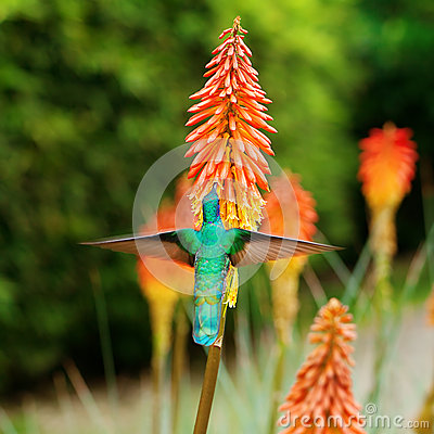 Free Blue Green Hummingbird Flying Over A Tropical Orange F Royalty Free Stock Photo - 30515565