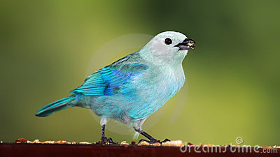 Blue-grey Tanager 01