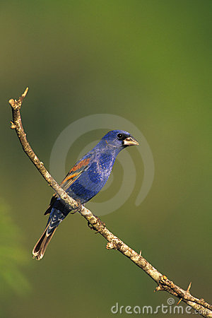 Blue Grosbeak on Branch