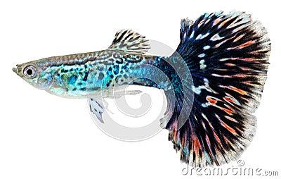 Blue guppy fish.Poecilia reticulata