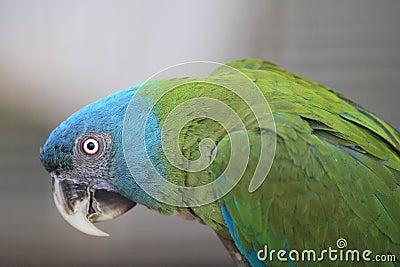 Blue headed macaw