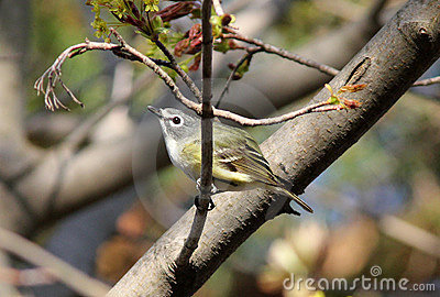 Blue-headed Vireo, Vireo Solitaris