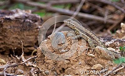 Blue-headed Whiptail Lizard