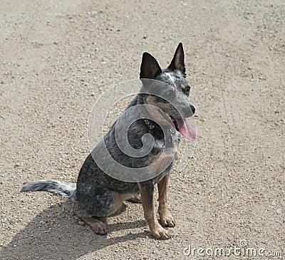 Blue Heeler Dog sitting