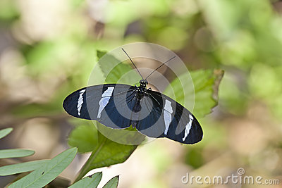 Blue Heliconius butterfly