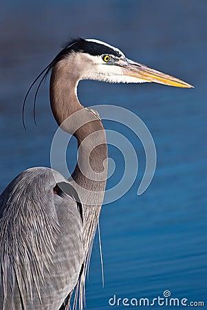 Free Blue Heron, Ardea Herodias Stock Image - 25534791