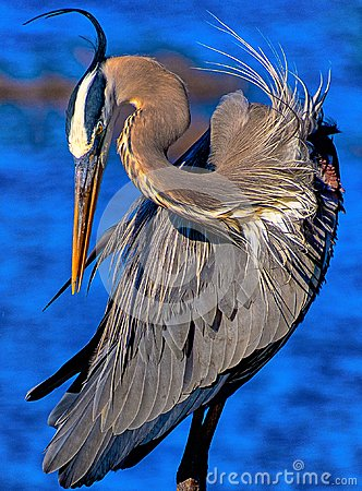 Free Blue Heron At Circle B Reserve Stock Images - 113187694