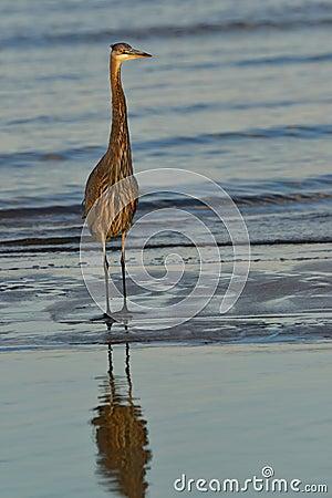 Free Blue Heron At Sunset Stock Images - 44918884