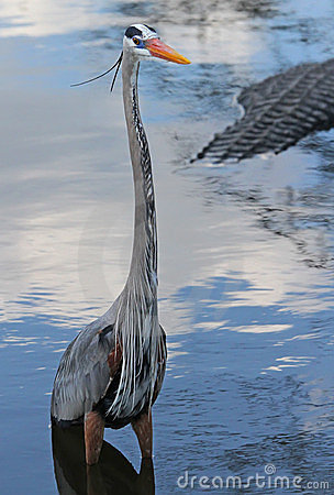 Blue heron, bird, wild life