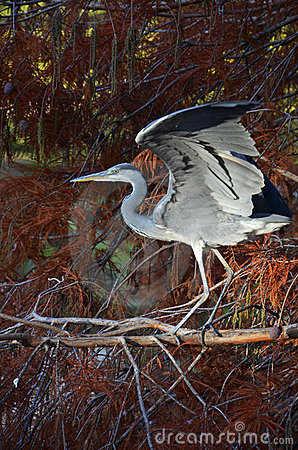Blue heron flapping wings