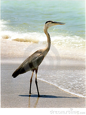Blue heron on Florida beach