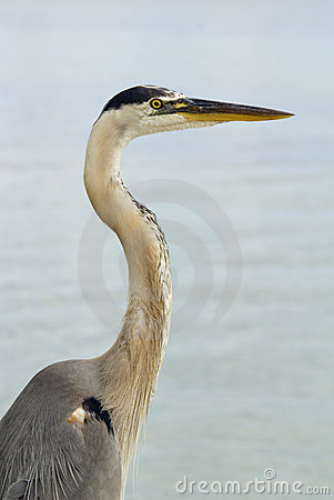 Blue Heron Half Length