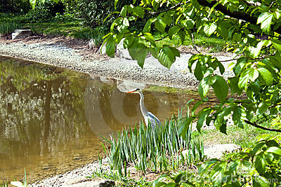 Blue Heron in Lake.