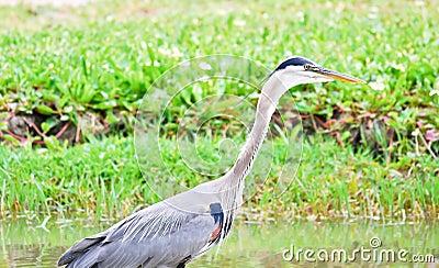 Blue Heron In A Marsh