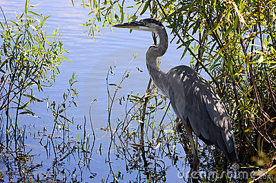 Blue Heron near water