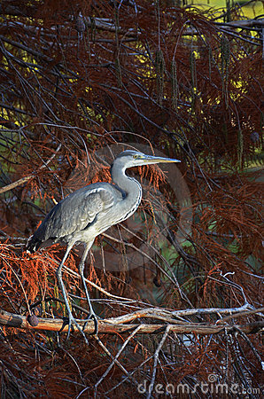 Blue heron in pluvial forest at sunset