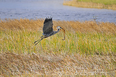 Blue Heron with snake