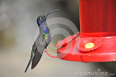 Blue Humming Bird about to feed