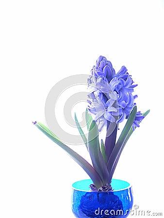 Free Blue Hyacinth Stock Image - 68391