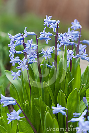 Blue hyacinth bunch