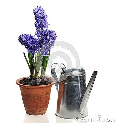 Blue hyacinth in ceramic pot