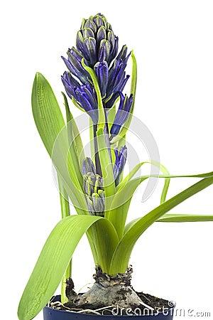 Blue hyacinthe flower, springtime