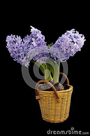 Blue Hyacinths in basket