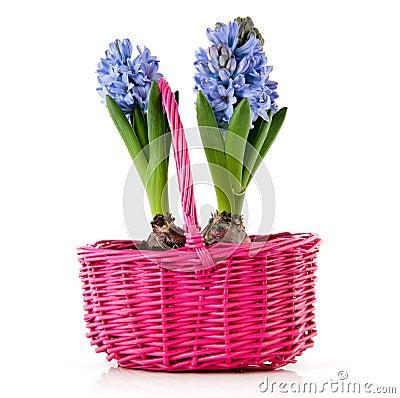 Blue Hyacinths In Pink Basket Stock Photo - Image: 24177900