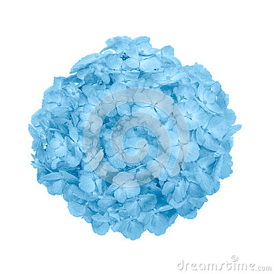 Free Blue Hydrangea Macrophylla Flower Isolated Royalty Free Stock Photos - 77522378