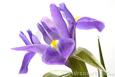Blue Iris Royalty Free Stock Images - Image: 2246139