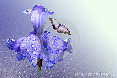 Blue iris and butterfly Stock Photo