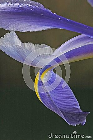 Blue iris petals two