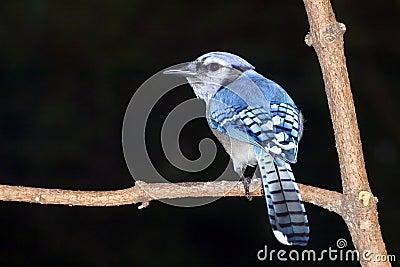 The Blue Jay (Cyanocitta cristata)
