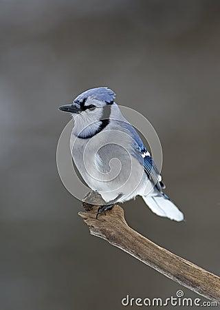 Blue Jay (Cyanocitta cristata)