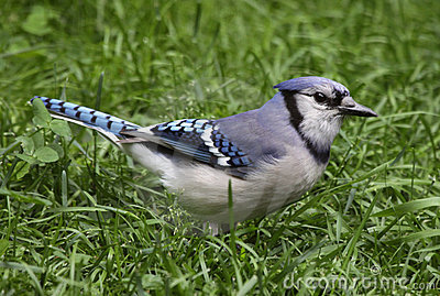 Blue Jay in the Grass
