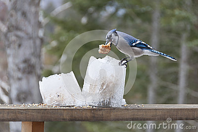 Blue Jay on Ice Lantern Feeders with Bread