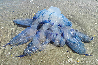 Blue jelly-fish