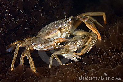 Blue-leg swim crab