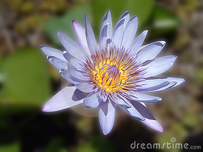 Blue Lily Flower