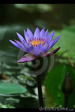 Free Blue Lotus Stock Photography - 19609452