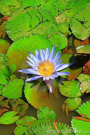 Blue lotus in water