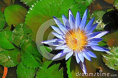 Blue lotus in water