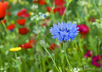 Blue love-in-a-mist or nigella damascena flower